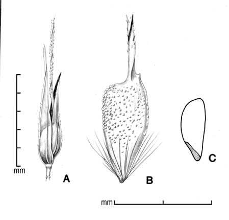 A, spikelet; B, floret; C, caryopsis in side view; drawing by Lynda E. Chandler