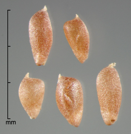 caryopses in side view
