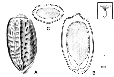 A, fruit; B, longitudinal section of fruit showing embryo; C, transection of fruit; drawing by Lynda E. Chandler