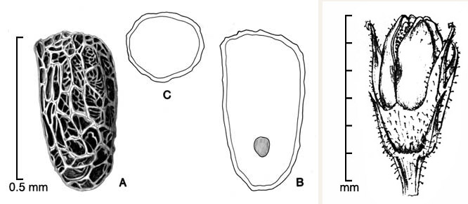 Phelipanche aegyptiaca  A, seed; B, longitudinal section of seed showing embryo; C, transection of seed; fruit (far right); drawings by Lynda E. Chandler (seed, left) and Regina O. Hughes (fruit, right)