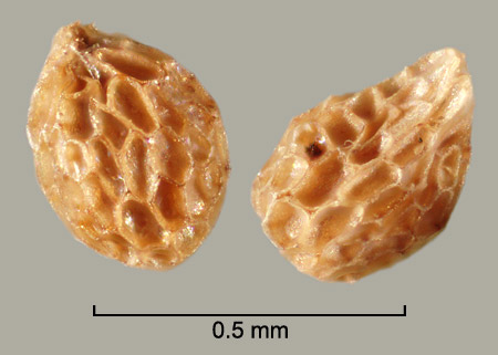 <strong><em>Orobanche californica</em></strong> seeds