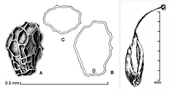 Orobanche cernua A, seed; B, longitudinal section of seed showing embryo; C, transection of seed; fruit (far right); drawings by Lynda E. Chandler (seed, left) and Regina O. Hughes (fruit, right)