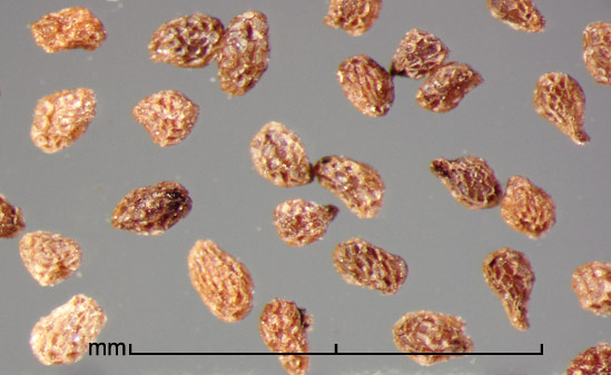 <strong><em>Phelipanche ramosa</em> </strong>(L.) Pomel seeds