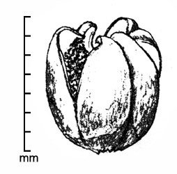 <em><strong><em>Phelipanche ramosa</em></strong> </em>fruit; drawing by Regina O. Hughes