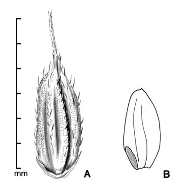 A, fertile floret with 2 attached sterile lemmas; B, caryopsis in side view showing embryo; drawing by Lynda E. Chandler