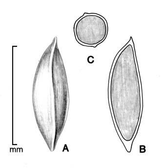 A, seed; B, longitudinal section of seed showing embryo; C, transection of seed; drawing by Lynda E. Chandler