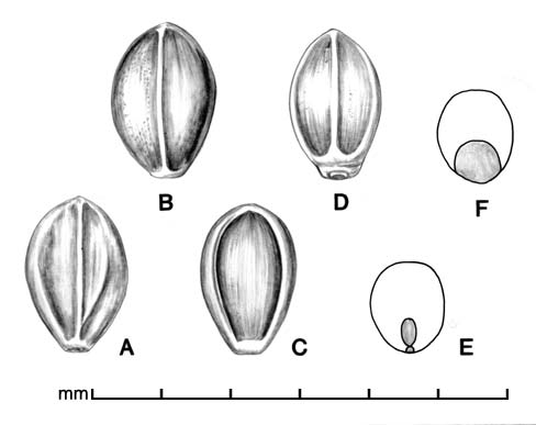 A, spikelet in ventral view; B, spikelet in dorsal view; C, floret in ventral view; D, floret in dorsal view; E, caryopsis in ventral view; F, caryopsis in dorsal view; drawing by Lynda E. Chandler