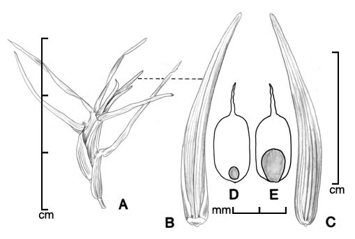 A, fruiting culm; B–C, spikelet in two views; D, caryopsis in ventral view; E, caryopsis in dorsal view; drawing by Lynda E. Chandler
