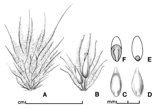 A, fascicle of bristles enclosing spikelet(s); B, cluster of two spikelets in fascicle (some bristles removed); C–D, floret in two views; E, caryopsis in ventral view; F, caryopsis in dorsal view; drawing by Lynda E. Chandler