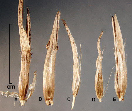 A-B, spikelets enclosed in leaf sheaths; C–E, spikelets