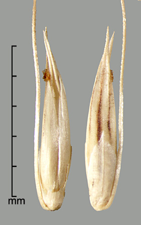 ventral view of fertile floret showing margins of lemma enclosing palea (left); spikelet subtended by primary bristle showing upper glume and fertile lemma (right).