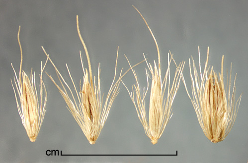spikelets singly and in clusters, each subtended by a fascicle of bristles