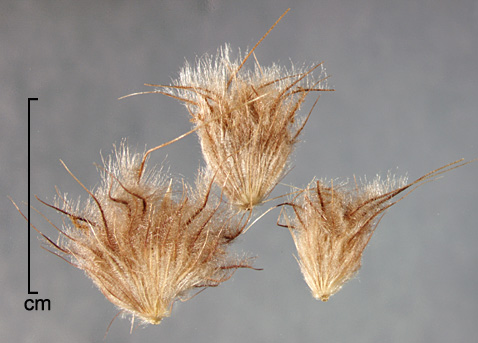 fascicles of bristles enclosing one or more spikelets each