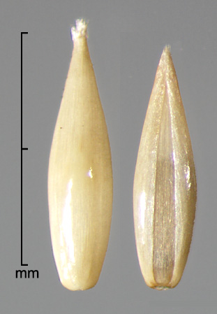 florets in dorsal view showing lemma (left) and ventral view showing palea (right)