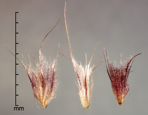 spikelets enclosed by fascicles