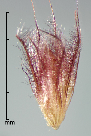 spikelet enclosed by fascicle of bristles