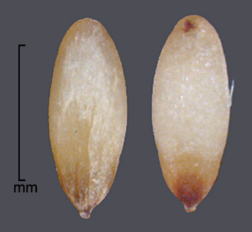 caryopses in dorsal view (left) and ventral view (right); photo by Mark Thurmond
