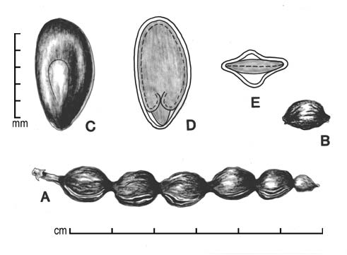 A, pod; B, one-seeded fruit segment; C, seed; D, longitudinal section of seed showing embryo; E, transection of seed; drawing by Lynda E. Chandler