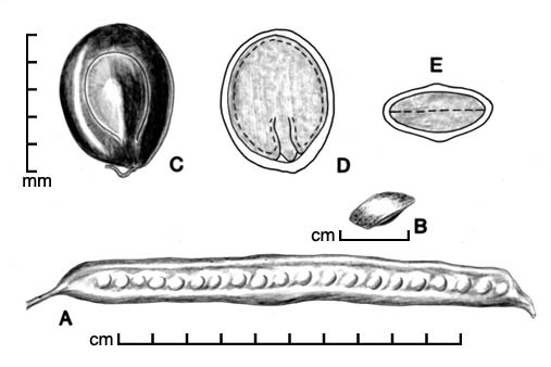 A, pod; B, one-seeded endocarp segment; C, seed; D, longitudinal section of seed showing embryo; E, transection of seed; drawing by Lynda E. Chandler