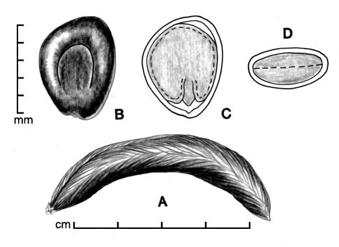 A, pod; B, seed; C, longitudinal section of seed showing embryo; D, transection of seed; drawing by Lynda E. Chandler