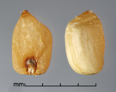caryopses in ventral view (left) and dorsal view (right)