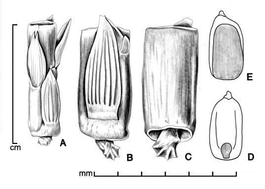 A, portion of inflorescence; B, disseminule showing lower glume; C, disseminule showing internode; D, caryopsis in ventral view; E, caryopsis in dorsal view; drawing by Lynda E. Chandler