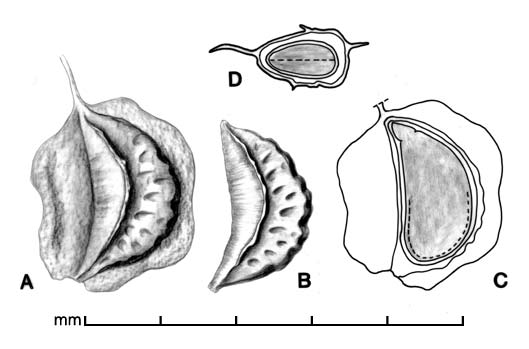 A, drupelet from multiple fruit; B, endocarp with dried part of fruit removed; C, longitudinal section of drupelet showing embryo; D, transection of drupelet; drawing by Lynda E. Chandler