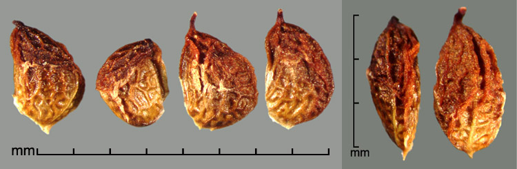 Rubus plicatus Weihe & Nees drupelets; dorsal view (right)