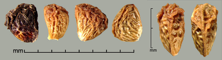 Rubus rosaceus Weihe & Nees drupelets; dorsal view (right)