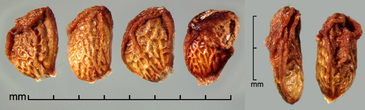 Rubus vulgaris  Weihe & Nees drupelets; dorsal view (right)