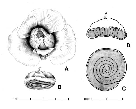 A, fruit with persistent calyx and bracteoles; B, fruit with calyx and bracteoles removed; C, embryo in situ; D, transection of fruit; drawing by Lynda Chandler