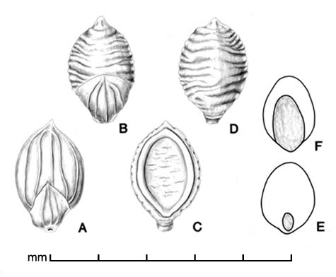 A, spikelet in ventral view; B, spikelet in dorsal view; C, floret in ventral view; D, floret in dorsal view; E. caryopsis in ventral view; F, caryopsis in dorsal view; drawing by Lynda E. Chandler