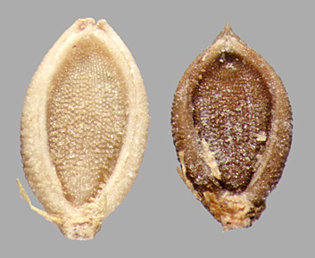 florets in ventral view showing palea and margins of lemma