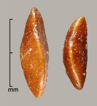 marginal view of seeds
