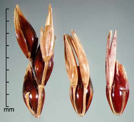 portion of inflorescence (left); terminal spikelet with two pedicellate spikelets (middle); spikelet with pedicellate spikelet and rachis segment (right)