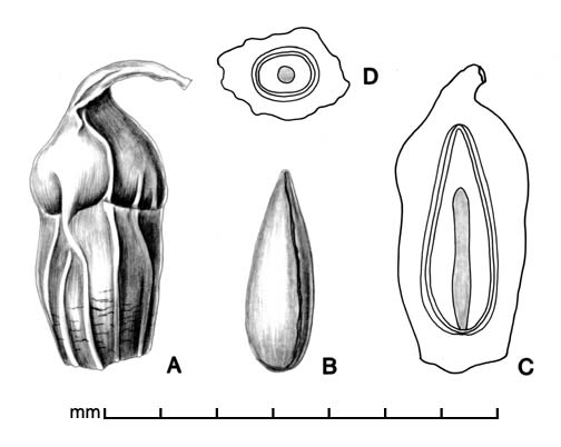 A, fruit; B, fruit with spongy exterior removed; C, longitudinal section of fruit showing embryo; D, transection of fruit; drawing by Lynda E. Chandler