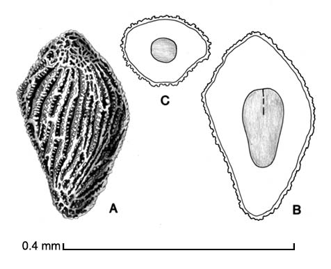 Striga asiatica A, seed; B, longitudinal section of seed showing embryo; C, transection of seed; drawing by Lynda E. Chandler