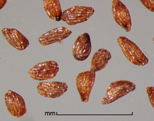 Striga forbesii Benth. seeds