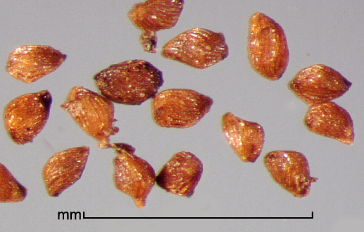 Striga asiatica (L.) Kuntz. seeds