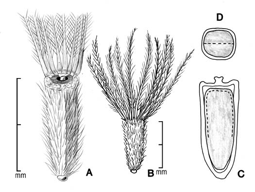 A, achene; B, achene with entire pappus; C, longitudinal section of achene showing embryo; D, transection of achene; drawing by Lynda E. Chandler