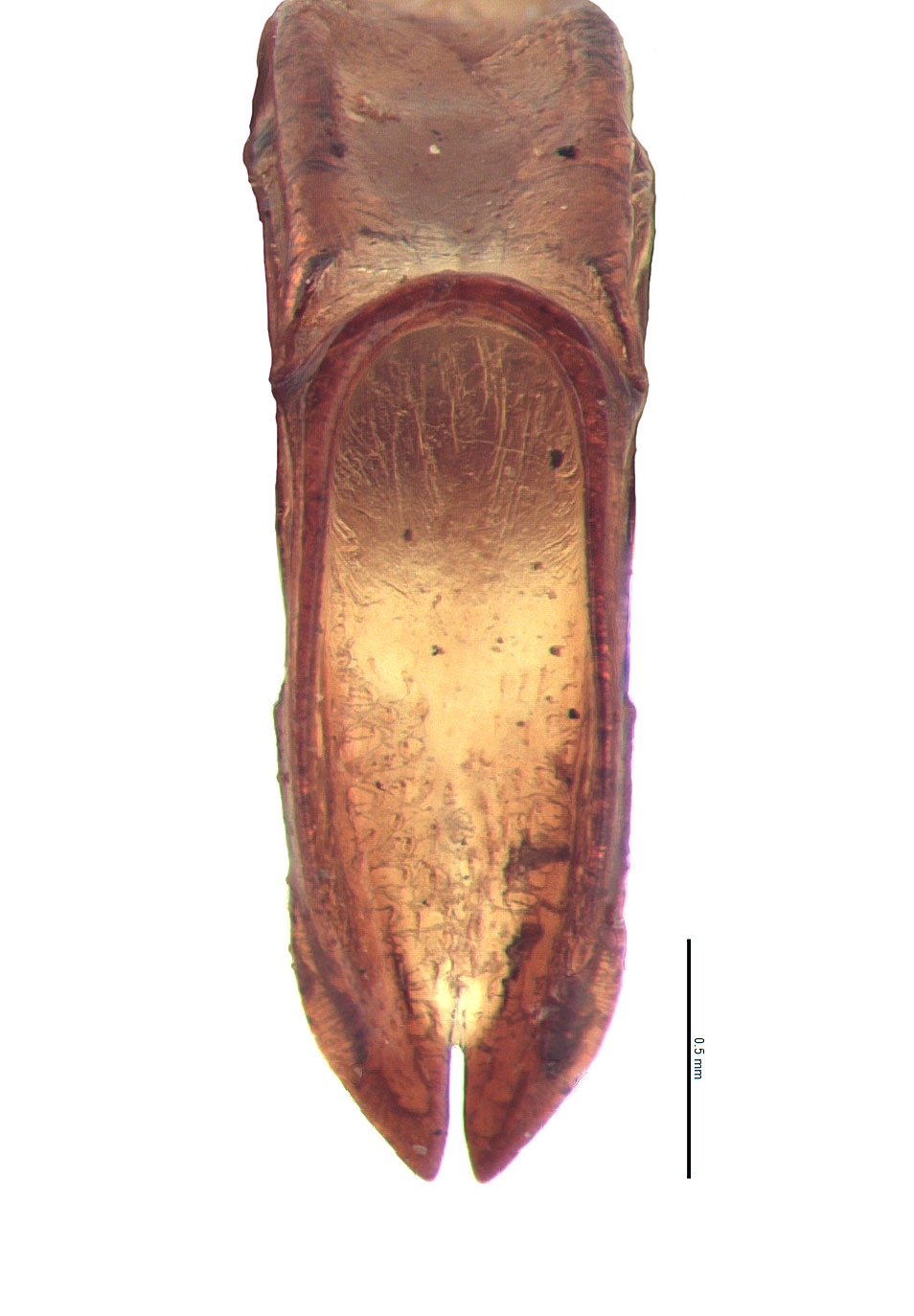 <em>Adoretus compressus</em> male genitalia, caudal view; photo by E.L. Engasser
