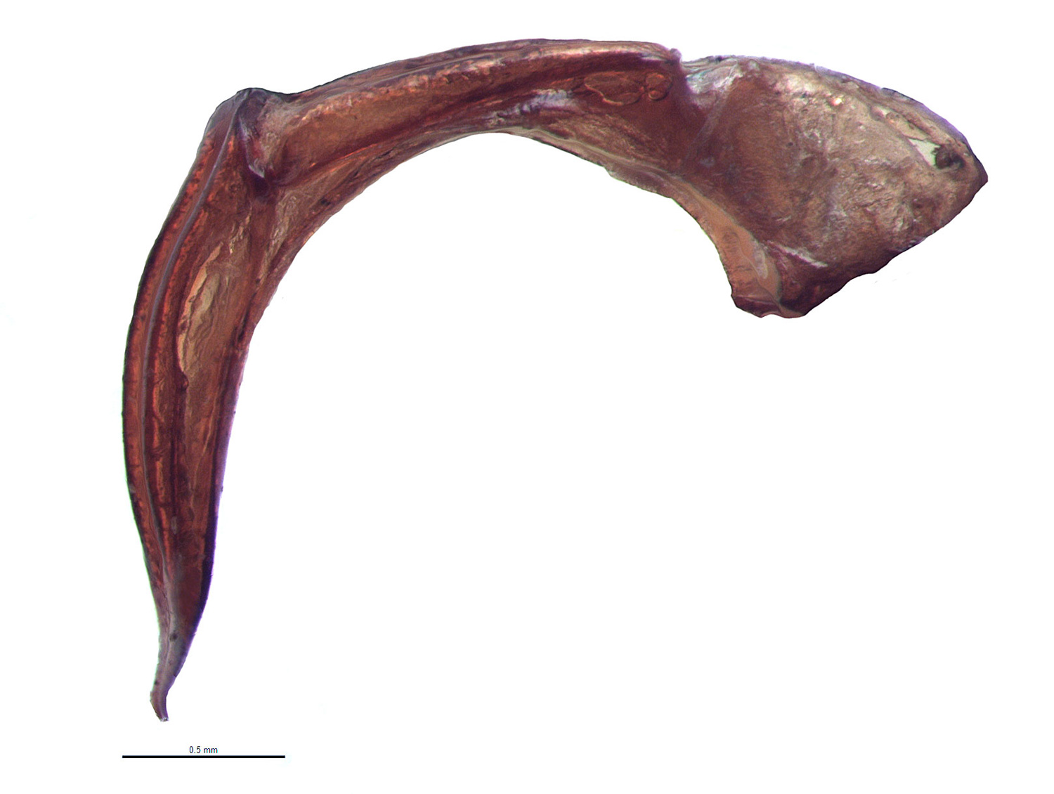 <em>Adoretus compressus</em> male genitalia, lateral view; photo by E.L. Engasser