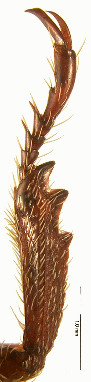 <em>Adoretus sinicus</em> male foretibia; photo by M.L. Jameson