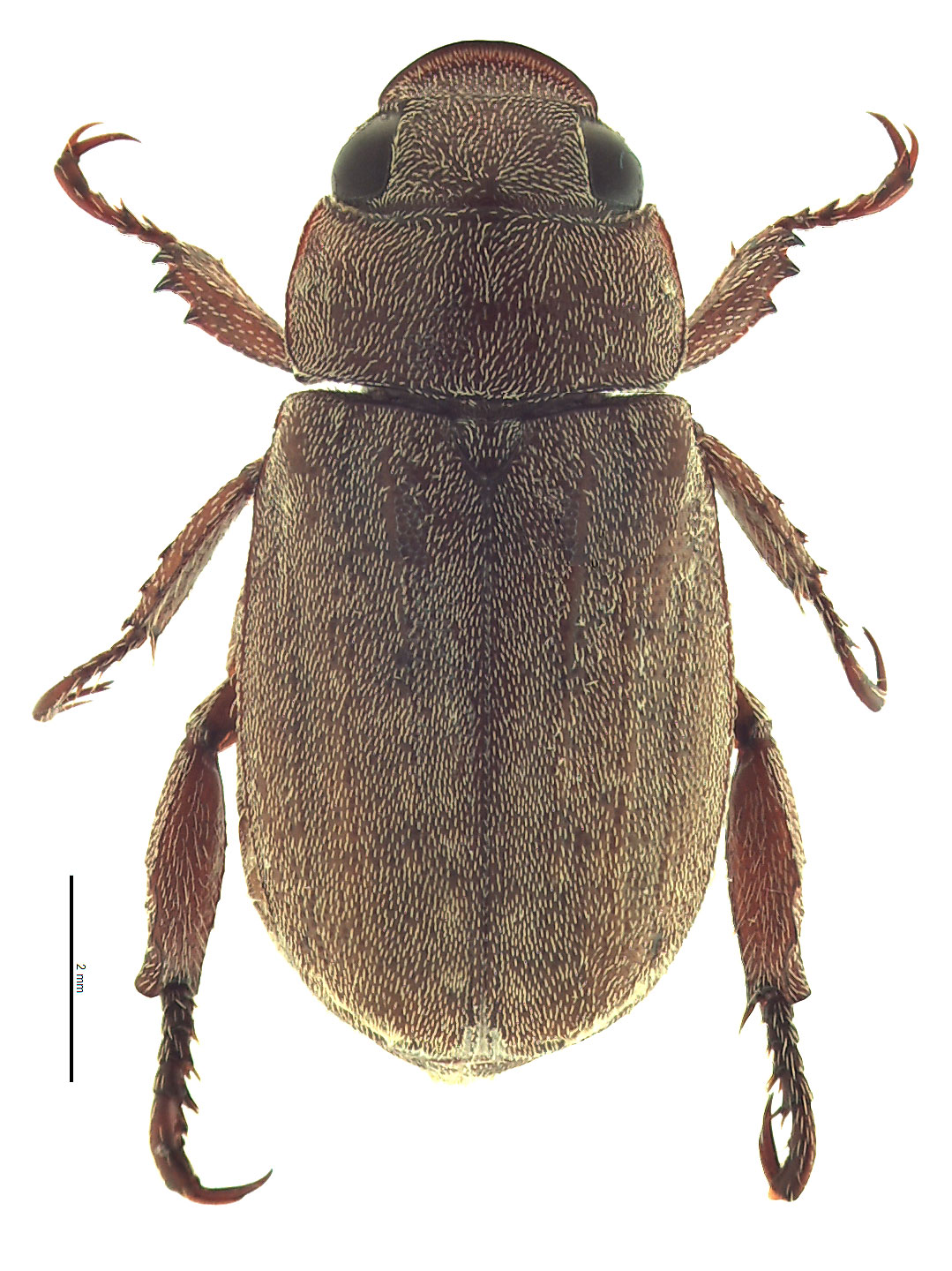 <em>Adoretus sinicus</em> male; photo by E.L. Engasser