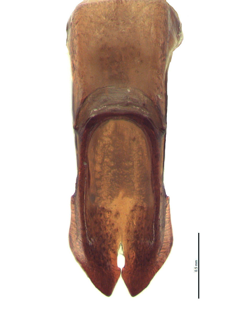 <em>Adoretus sinicus</em> male genitalia, caudal view; photo by E.L. Engasser