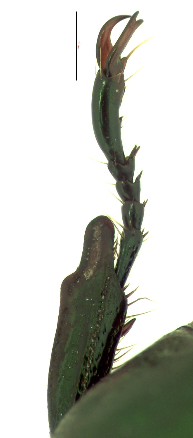 <em>Anomala albopilosa</em> female foretibia; photo by E.L. Engasser