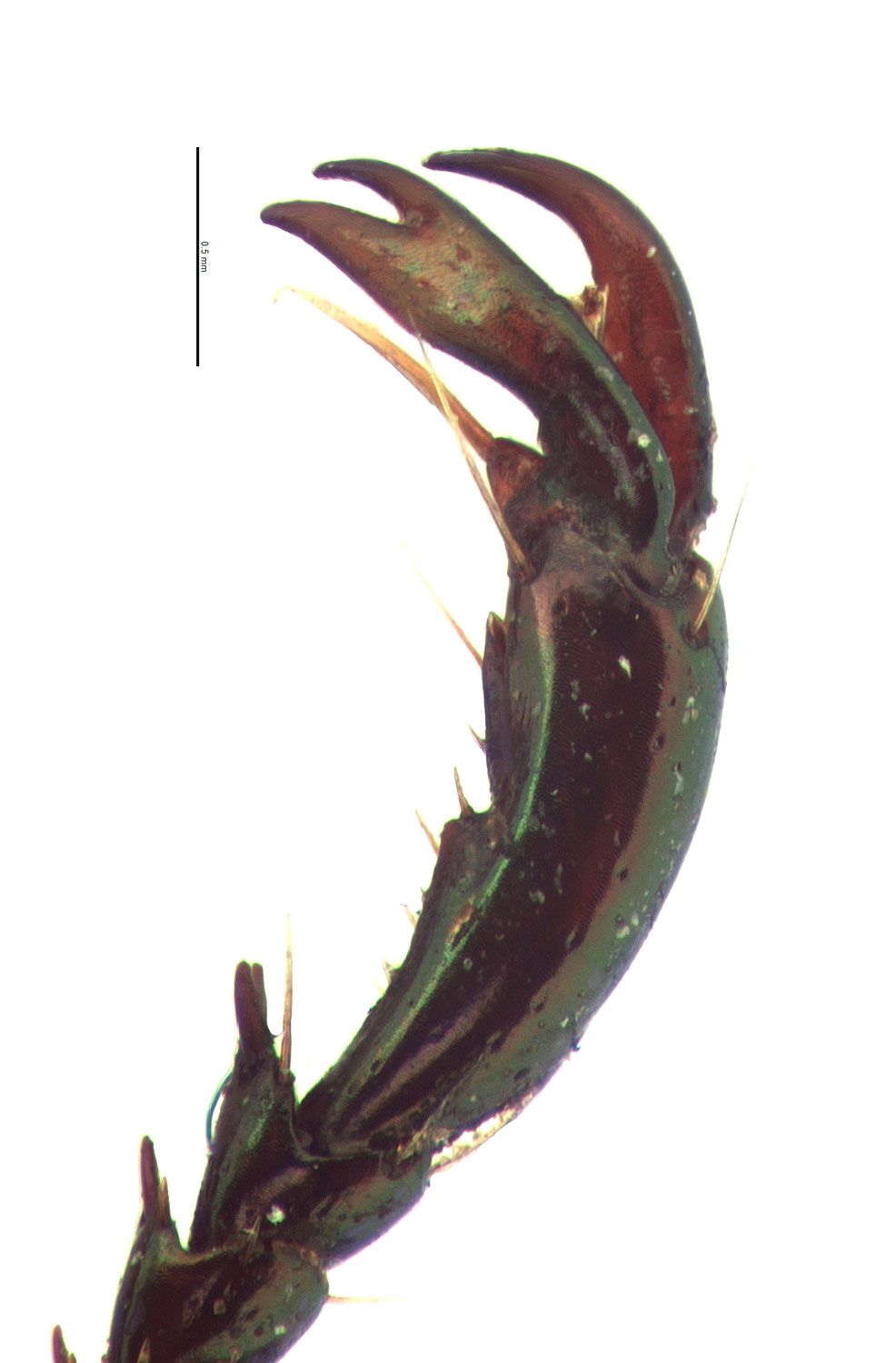<em>Anomala albopilosa</em> male foreclaw; photo by E.L. Engasser