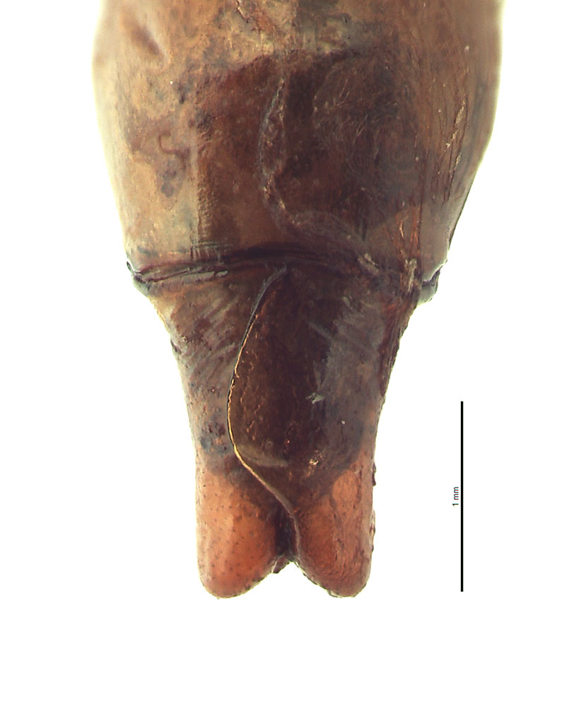<em>Anomala albopilosa</em> male genitalia, dorsal view; photo by E.L. Engasser