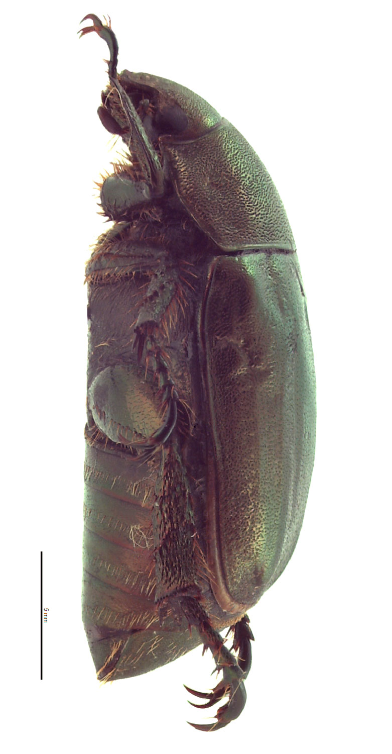 <em>Anomala cuprea</em> female; photo by E.L. Engasser