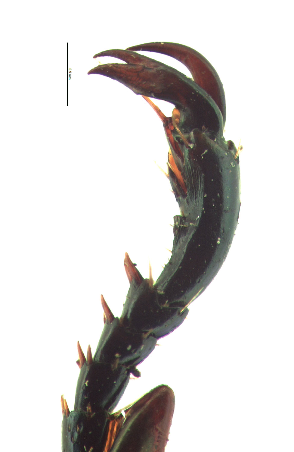 <em>Anomala cuprea</em> male foreclaw; photo by E.L. Engasser